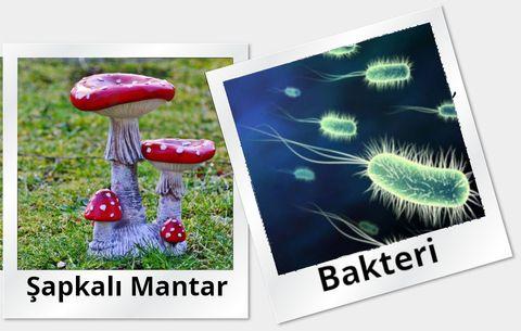 Şapkalı mantar ve Bakteri