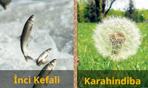 İnci Kefali ve Karahindiba